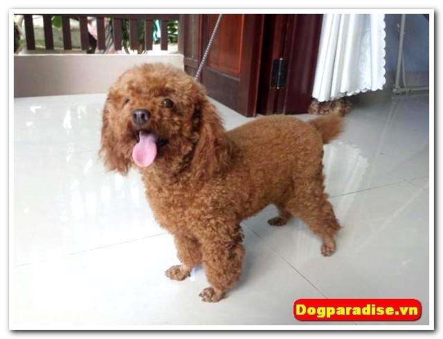 Cho-poodle-de-thuong (53)
