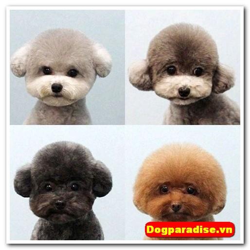 Cho-poodle-de-thuong (54)