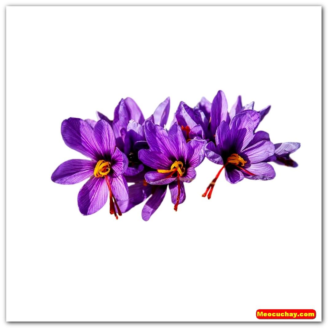 Nhuy-hoa-nghe-tay-saffron-iran (4)
