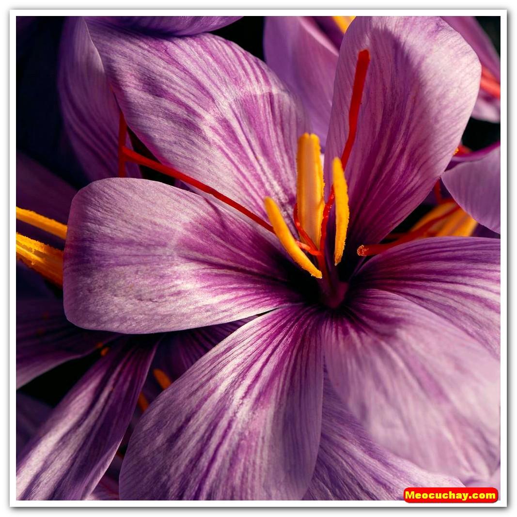 Nhuy-hoa-nghe-tay-saffron-iran (45)